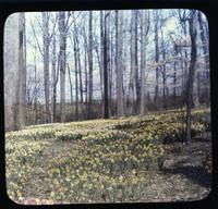 Daffodils in the woods at Winterthur, estate of Henry Francis du Pont