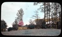 Terrace planting with pink dogwood in bloom at Pendelmar, home of Mr. and Mrs. John B. Bird