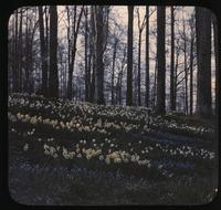 Narcissi and grape hyacinths in woods at Winterthur, estate of Henry Francis du Pont