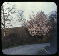 Driveway and flowering cherry tree at Winterthur, estate of Henry Francis du Pont