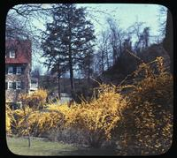 Forsythia in lower garden planted by Alice du Pont at the Old Mill, weekend home of T. Coleman and Alice du Pont