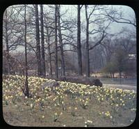 Daffodils, or narcissus, in the woods in unidentified garden