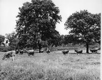 Turner and Westcott cattle in pasture on Glen Ray Plant farm