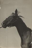 Horse possibly owned by Isabella du Pont Sharp