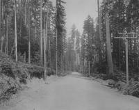 Early road through pine forest