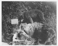 Bear taxidermy exhibit by William W. Hart & Co. at 1899 Sportsmen's Exposition