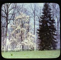 Oriental spruce and Magnolia grandiflora at Winterthur, estate of Henry Francis du Pont
