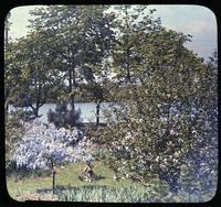 Bechtal crab and wisteria along shore of lake in the garden of H. F. Brown