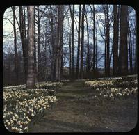 Woods with narcissis or daffodils at Winterthur, estate of Henry Francis du Pont