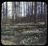 Naturalized narcissis in woods at Winterthur, estate of Henry Francis du Pont