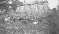 Man standing in chicken yard with several chickens and a flock of turkeys