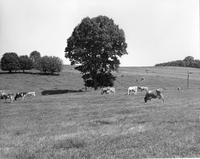 Dairy cattle in pasture at Wawa Dairy Farms