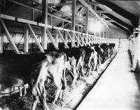 Cows at milking stations in the milking barn at Wawa Dairy Farms