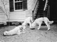 Dogs photographed during trip of Charles Augustus Belin