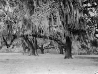 Trees photographed during trip of Charles Augustus Belin