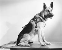 David's Seeing Eye dog from the motion picture 'Soldiers of the Soil'