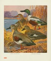 Gadwall or gray duck, shoveller or spoonbill