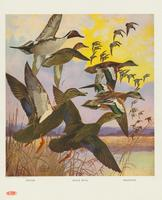 Pintail, black duck, bald-pate