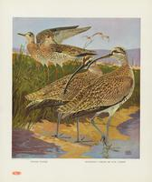 Upland plover, Hudsonian curlew or jack curlew