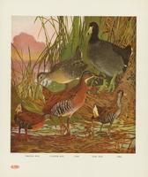 Virginia rail, clapper rail, coot, king rail, sora