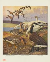 White-fronted goose, greater snow goose, canada goose