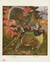 Dusky grouse, ruffed grouse