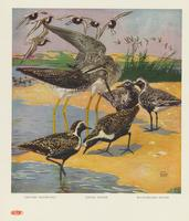 Greater yellow-legs, golden plover, black-bellied plover