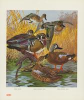 Wood duck, green-winged teal, blue-winged teal